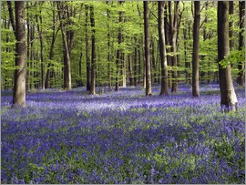 Adrian Bicker - Bluebells in woodland