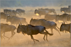 age fotostock - Wildebeests during the great migration, Serengeti