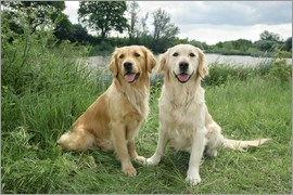 Greg Cuddiford - Golden Retrievers