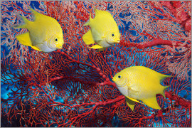 Georgette Douwma - Golden damselfish