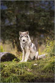 Doug Lindstrand - Grey wolf (Canis lupus) pup roams it's enclosure, captive at the Alaska Wildlife Conservation Center