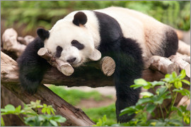 eyetronic - Giant panda sleeping