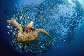 Dave Fleetham - Green sea turtle before Bali