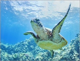 M. Swiet - Green sea turtle off Hawaii
