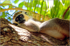 Matteo Colombo - Green monkey sleeping, Barbados