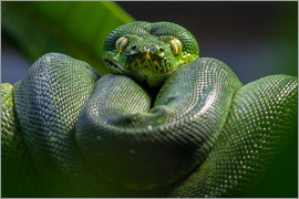 WildlifePhotography - green tree python