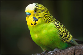Edith Albuschat - Green budgie