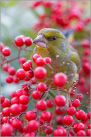 Thomas Herzog - Greenfinch