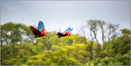 Alex Saberi - Red-and-green-macaws flying home