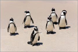 Catharina Lux - Gruppe afrikanischer Pinguine, Boulders Reserve, Boulders Beach
