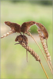 Ann & Steve Toon - Harvest mice (Micromys minutus), captive, United Kingdom, Europe
