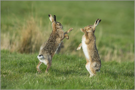 P. Marazzi - European hares in March