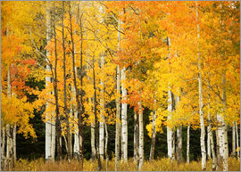Ron Dahlquist - Autumn Forest at Buffalo Pass