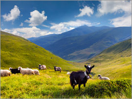 Herd of sheep and goats in the mountains
