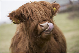 John Short - Highland Cattle Licking It's Lips