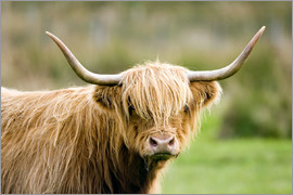 John Devries - Highland cow