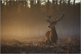 Alex Saberi - Stag in autumn sunrise