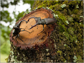 Bob Gibbons - Greater Stag Beetles