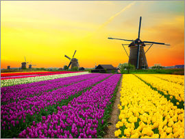 Dutch windmills and fields of tulips