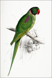 Edward Lear - Hooded Parakeet