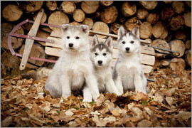 Jeff Schultz - Husky puppies