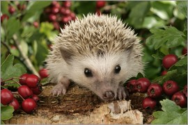Greg Cuddiford - Hedgehog with berries