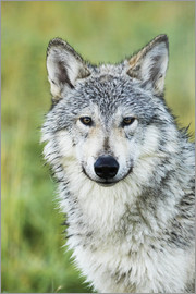 Doug Lindstrand - Immature female wolf (canis lupus), captive at the Alaska Wildlife Conservation Center, South-centra