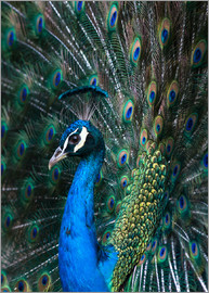 Andrew Michael - Indian Peacock (Pavo Cristatus) plumage display in the grounds of Barcelona Zoo, Catalonia, Spain, E