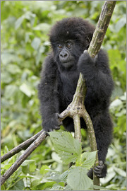 James Hager - Infant mountain gorilla (Gorilla gorilla beringei) from the Kwitonda group climbing a vine, Volcanoe