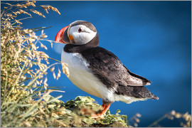 Sascha Kilmer - Puffin on Iceland