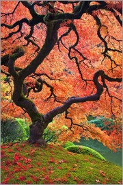 Don Paulson - Japanese maple tree in autumn color at Portland Japanese Garden