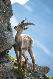 Peter Wey - Young alpine ibex