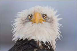 Kent Fredriksson - Young Bald Eagle