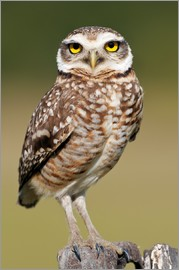 Tony Camacho - Burrowing owl