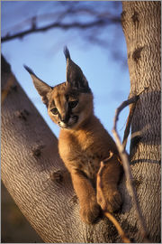PhotoStock-Israel - Caracal