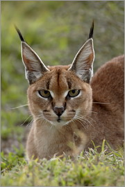 James Hager - Caracal