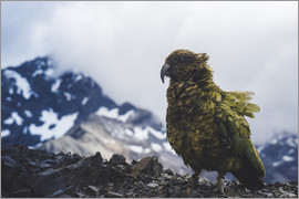 Nicky Price - Kea on Avalanche Peak