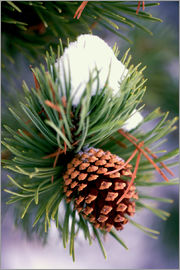 Craig Tuttle - Pine with cones