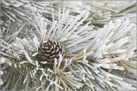 Michael Interisano - Pine cones in frost