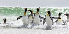 Cubo Images - King Penguin (Aptenodytes patagonicus) on the Falkand Islands in the South Atlantic. Group of pengui