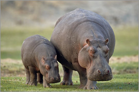 James Hager - little hippopotamus family