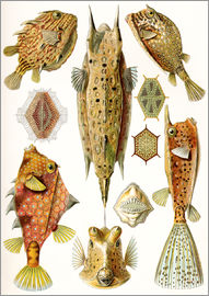 Ernst Haeckel - Ostraciontes cowfish species.