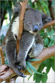 Koala at closing time