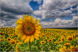 Achim Thomae - King of Sunflowers