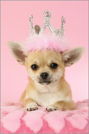 Greg Cuddiford - Queen Chihuahua