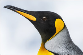 Nick Dale - Close up of the head of a King Penguin (Aptenodytes patagonicus) with a black head and grey back wit