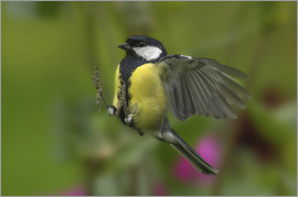 Friedhelm Peters - Great Tit in landing approach