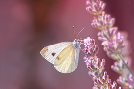 Bettina Dittmann - Pieris rapae
