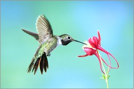 Rolf Nussbaumer - Hummingbird on Columbine