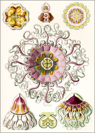 Ernst Haeckel - Crown quill, periphylla periphylla